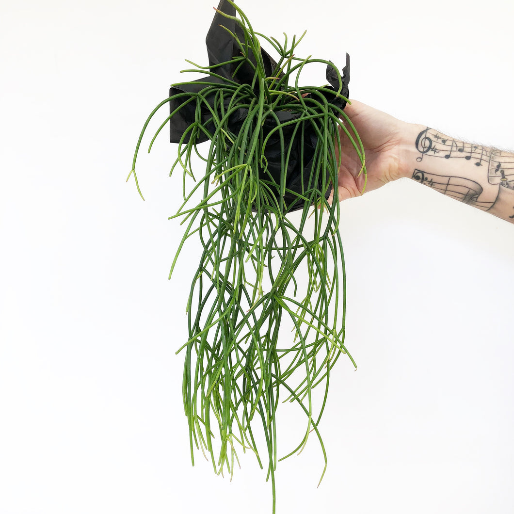 Rhipsalis-Cassutha-Indoor-Plants-Melbourne-The-Jungle-Edition