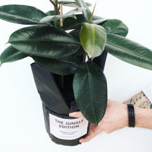 Rubber Plant-Indoor-Plants-Melbourne-The-Jungle-Edition