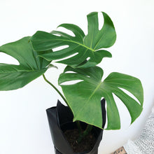 Monstera Deliciosa-Indoor-Plants-Melbourne-The-Jungle-Edition