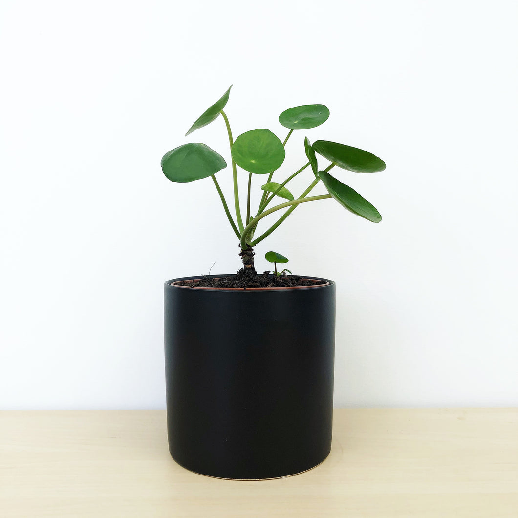 Pilea Peperomioides-Indoor-Plants-Melbourne-The-Jungle-Edition