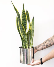 Green and Yellow Snake Plant in Silver Pot
