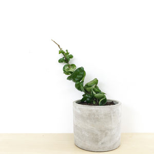 Indian Rope Hoya in Concrete Pot