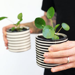 Pilea Peperomioides in Thin Striped Pot