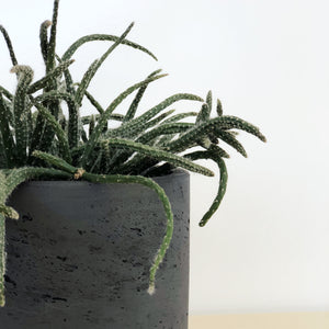 Rhipsalis Horrida in Charcoal Concrete Pot