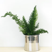 Foxtail Fern in Silver Pot