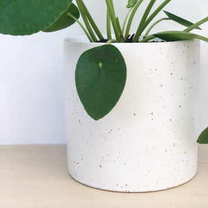 Pilea Peperomiodes in White Speckled Pot
