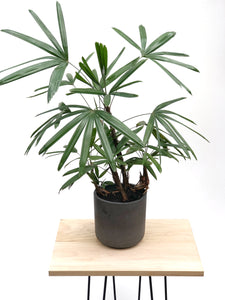 Lady Palm (Rhapis Excelsa) in Charcoal Concrete Pot