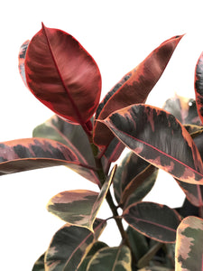 Ficus Elastica Ruby Rubber Plant