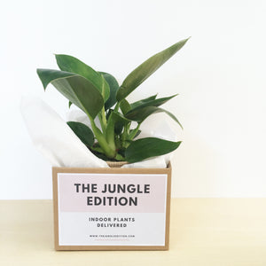 Philodendron-Indoor-Plants-Melbourne-The-Jungle-Edition