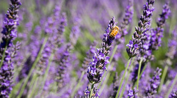 The Calming Effects of Lavender and Why It Works Well With CBD