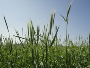 Grass Seed - Annual Rye 1Kg