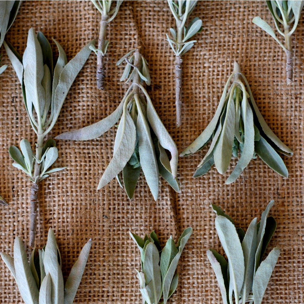 Why Native Americans Love Sage and Use It As Herbal Medicine