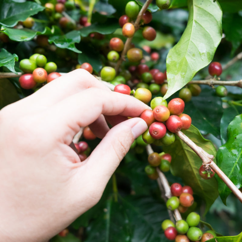 Ten Awesome Benefits Of Coffee Bean Extract For Your Skin