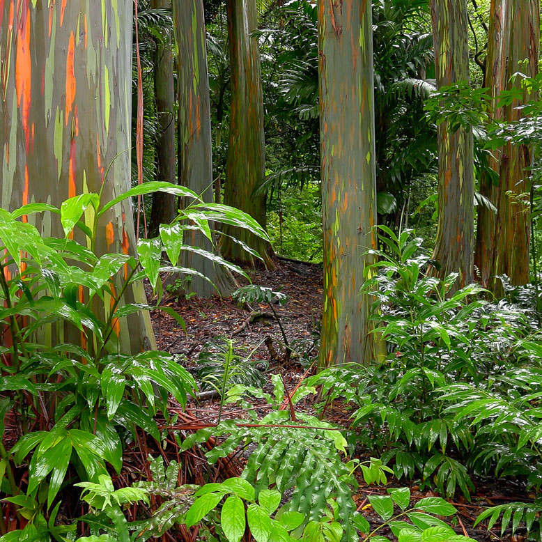 Rainbow eucalyptus trees hana maui hawaii