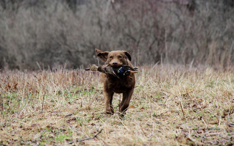 gun dog photo