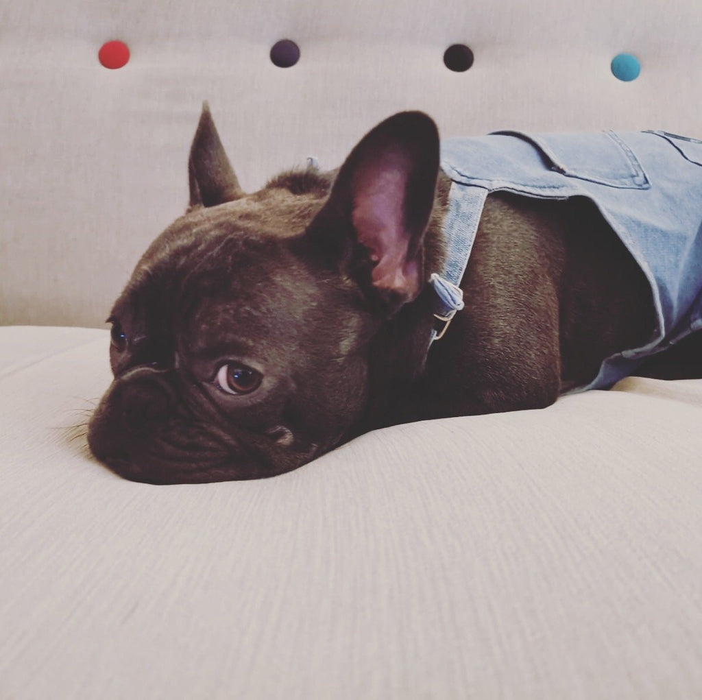 French bulldog denim pants - Frenchi dog model relaxing on sofa