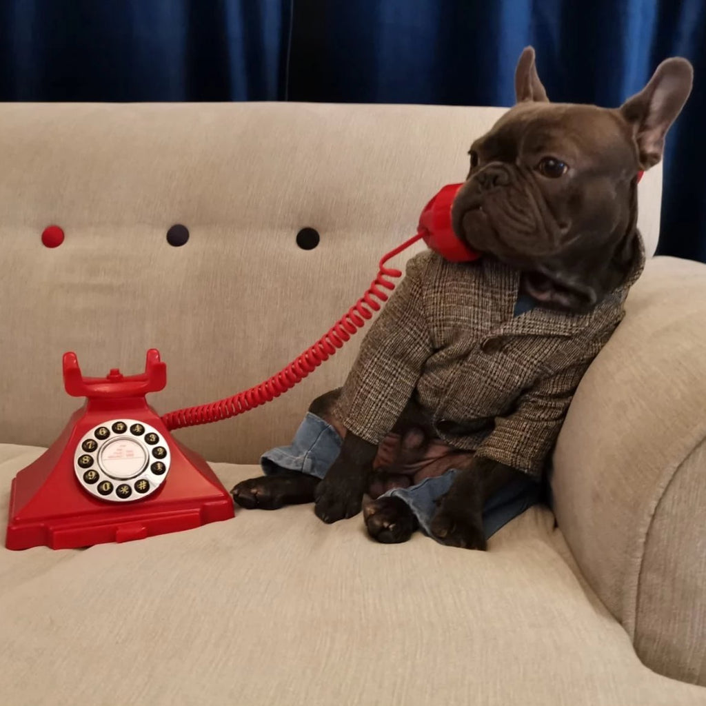 French bulldog pants - Frenchi dog model posing wearing jacket and speaking to the phone
