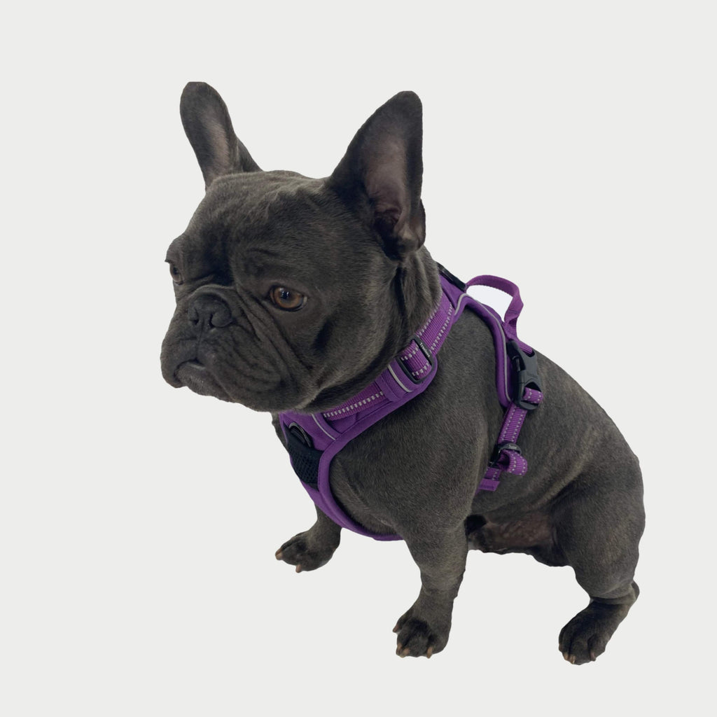 All Weather Reflective Nylon French Bulldog Harness - Model wearing Purple