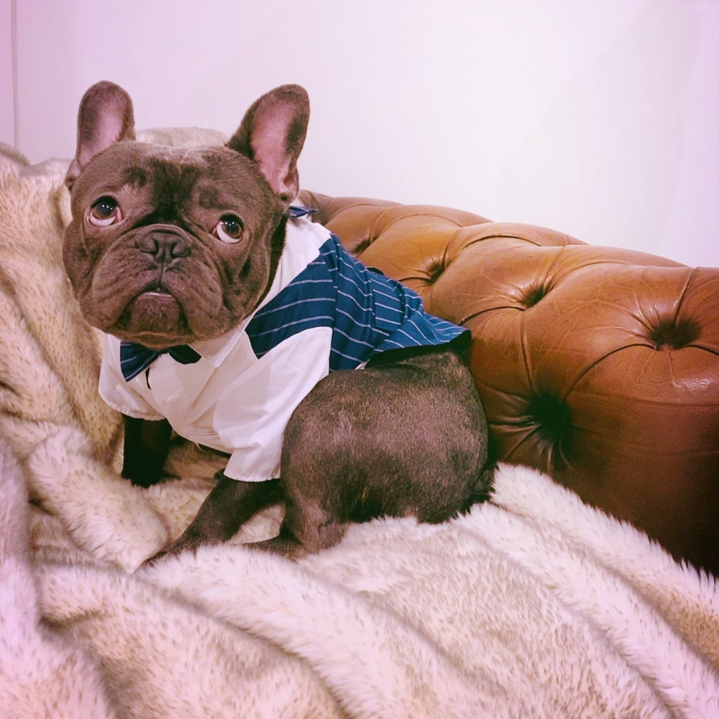 French Bulldog Wedding Clothing, French Bulldog Tuxedo