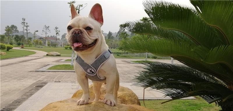 Grey French Bulldog No pull Harness - Lifestyle View