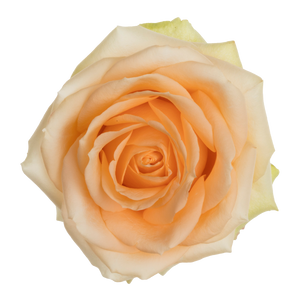 Beautiful Peach - Allure by Berg Roses