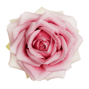 Perfect Pink - Allure by Berg Roses