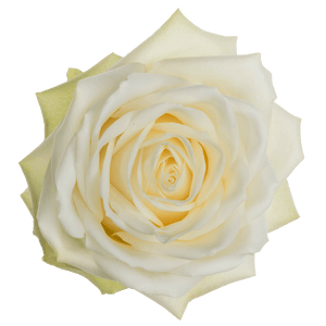 Platinum White - Allure by Berg Roses