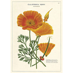 California Poppy: 20x28 Poster