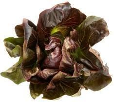 Radicchio-Fresh Connection-Fresh Connection