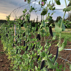 Blue Podded Shelling Pea