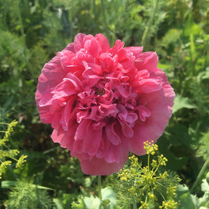 Delusion Double Pink Poppy