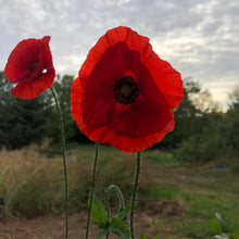 Flanders Red Poppy
