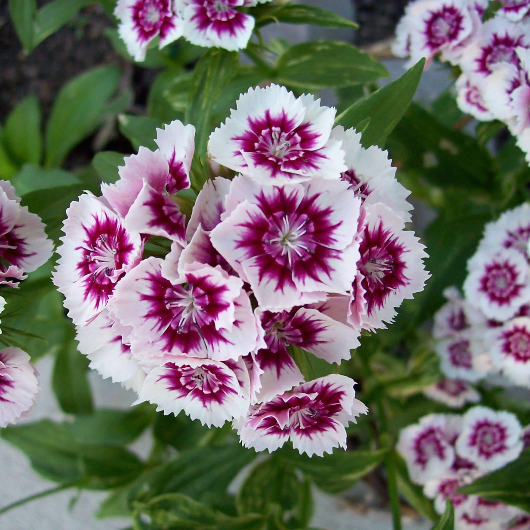 Guryn Sweet William