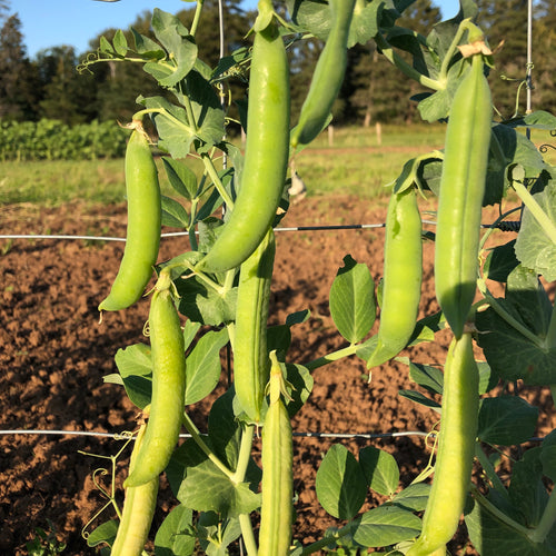 Homesteader Pea