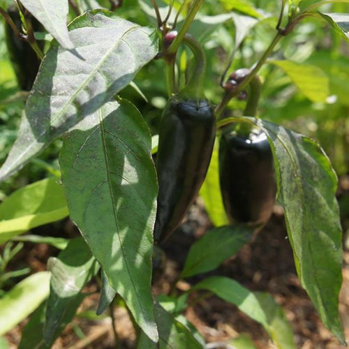 Black Hungarian Hot Pepper