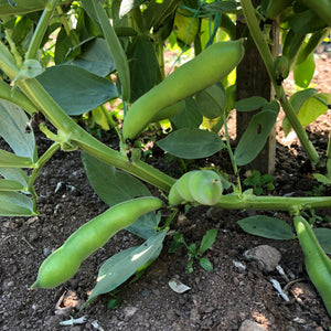 Lena Spraybash Fava Bean