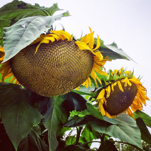 Russian Mammoth Sunflower