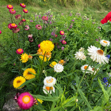 Rainbow Strawflower Mix