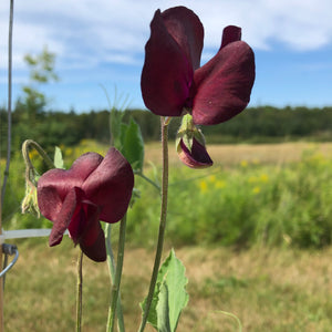 Uncle Alec's Black Knight Sweet Pea
