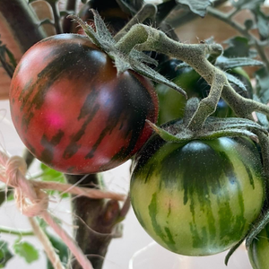 Purple Bumble Bee Cherry Tomato