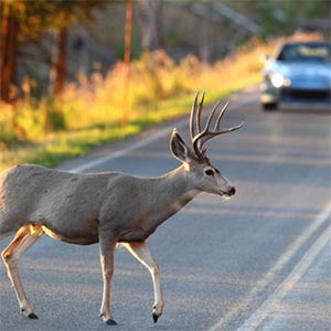 A deer with velvet antlers crosses the road