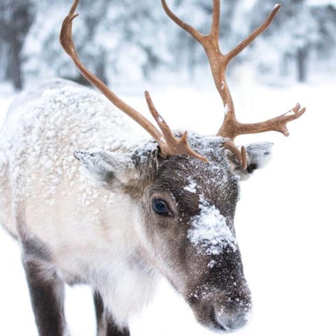 Picture of a reindeer antlers.