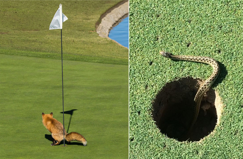 animals taking revenge on the golf course