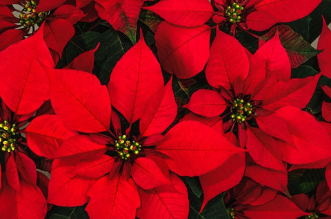 poinsettias history