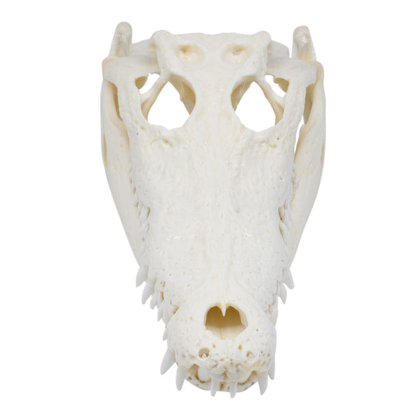Crocodile skull - white or black-Crocodile skull-Oz About Oz