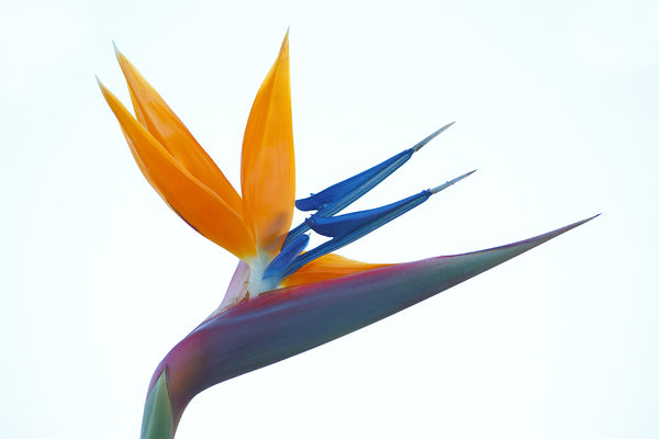 Bird of Paradise Package