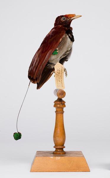 A bird of paradise with brown plumes, grey belly and a long thin tail with green round feather perched on a woden stand. There is a museum tag attached to the bird'se foot.