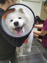 The same white dog, now clean, wears a protective cone and looks at the camera with her tongue out, while three vets examine her in the background.