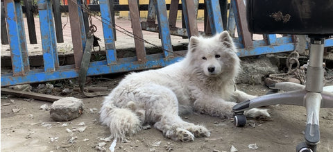 A large white fluffy dog sits on the ground in front of a metal fence. Her fur is dirty and she looks worried.