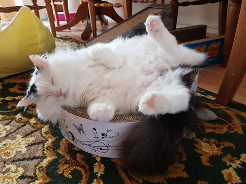 The same white cat lies on its back contentedly, its fur clean and fluffy, on a cat bed. Loungeroom furniture can be seen in the background.